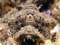 raggy scorpaenopsis scorpianfish venosa 库存图片