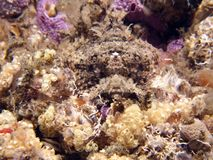 raggy scorpaenopsisscorpianfishvenosa royaltyfri fotografi