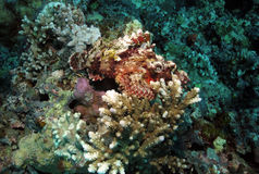 Raggy Scorpionfish. Resting on hard coral Royalty Free Stock Photography