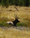 Raghorn Rocky Mountain Elk - Wapati Fotografia Stock