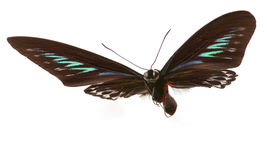Ragià Brooke Birdwings- tropicale buttelfly Fotografie Stock Libere da Diritti