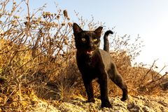 Raging black cat with yellow eyes looking at camera. Israel, Tel Aviv. Animal wildlife stock photos