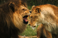 Raging Lion. A male lion raging into the ear of his mate Stock Photo