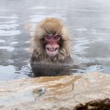 Raging snow monkey Macaca fuscata from Jigokudani Monkey Park in Japan, Nagano Prefecture. Japanese macaque. Raging snow monkey Macaca fuscata from Jigokudani royalty free stock photo