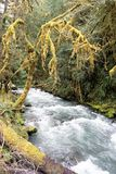 Raging torrent of spring runoff cascades through rain forest. Moss laden branches reach over the cascading volume of river water flowing down slope.  Olympic Stock Image