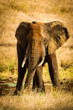 Angry Raging Male bull Elephant (Tusker) Royalty Free Stock Image