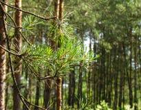 Ragnatela Platted su un ramo del pino Fotografie Stock