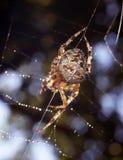 Ragni nella natura Fotografie Stock Libere da Diritti