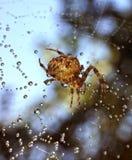 Ragni nella natura Immagine Stock