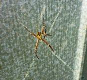 Ragni variopinti nel web Fotografia Stock Libera da Diritti