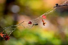 Ragno in autunno nel parco del Giappone Korankei immagine stock libera da diritti