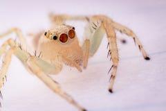 Ragno bianco Immagini Stock