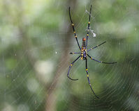 Ragno blu e giallo sulla ragnatela Fotografia Stock Libera da Diritti