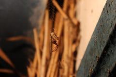 Ragno che appende sulla rete contro il fondo della paglia Fotografia Stock