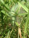 Ragno che custodice ooteca in erba lunga Immagini Stock Libere da Diritti