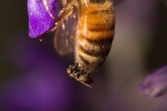 Ragno che mangia ape fotografia stock libera da diritti