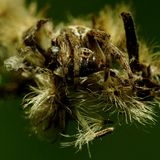 Ragno che si nasconde nel fiore appassito Fotografia Stock