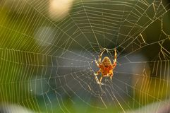 Ragno che sviluppa un web appiccicoso all'aperto Immagine Stock
