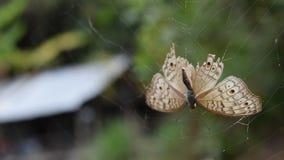 Ragno che tiene la sua vittima una farfalla video d archivio