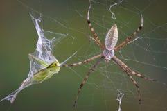 Ragno con la tramoggia nel Web Fotografie Stock