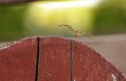 Ragno con le gambe lunghe Fotografia Stock