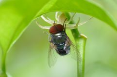 Ragno contro la mosca fotografia stock libera da diritti