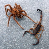 Ragno contro lo scorpione Immagine Stock Libera da Diritti