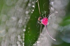 ragno coperto di spine Lungo-cornuto Fotografia Stock Libera da Diritti