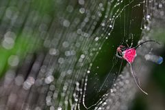 ragno coperto di spine Lungo-cornuto Fotografie Stock Libere da Diritti