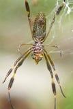 Ragno dei clavipes di dorada o Nephila di Araña de seda Fotografie Stock Libere da Diritti