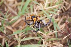 Ragno del cacciatore che preda ad una vespa Immagini Stock