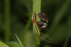 ragno del Globo-tessitore (Araneidae) Immagine Stock