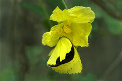 Ragno del granchio che preda alla farfalla di giallo dell'erba Immagini Stock