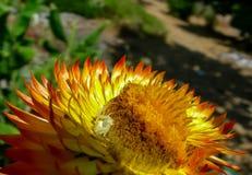Ragno del granchio e di Straw Flower fotografie stock