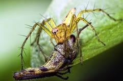 Ragno del lince che mangia la tramoggia dell'erba immagine stock libera da diritti