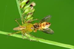 Ragno del lince che mangia un ape nella sosta Fotografia Stock Libera da Diritti