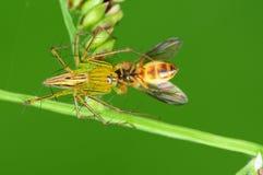 Ragno del lince che mangia un ape nella sosta Fotografie Stock
