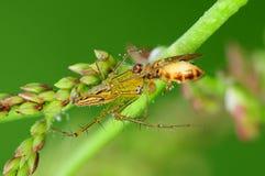 Ragno del lince che mangia un ape nella sosta Immagine Stock