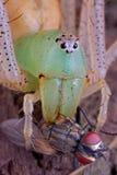Ragno del lince con la mosca Fotografie Stock
