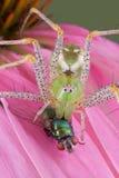 Ragno del lince con la mosca sul fiore Fotografia Stock