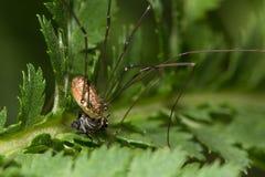Ragno dell'opilione dei muri di rotundum di Leiobunum che mangia la preda della mosca che mostra mou fotografie stock libere da diritti