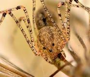 Ragno della cantina che mangia una mosca di gru Fotografie Stock