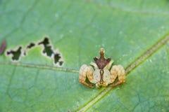 Ragno della famiglia di Thomisidae conosciuta come il genere Epica del ragno del granchio immagini stock