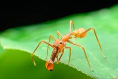 Ragno della formica (maschi) Fotografie Stock Libere da Diritti