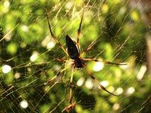 Ragno della palma delle Seychelles Fotografia Stock