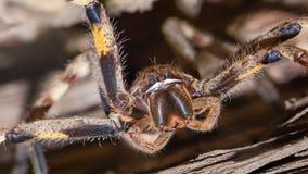 Ragno della pioggia nella posizione minacciosa (Palystes Superciliosus) fotografie stock