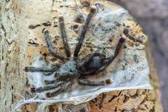 Ragno della tarantola Immagine Stock