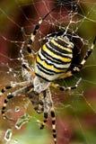 Ragno della vespa Fotografie Stock Libere da Diritti