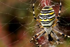Ragno della vespa Fotografia Stock