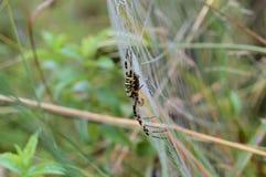 Ragno della vespa Fotografia Stock Libera da Diritti
